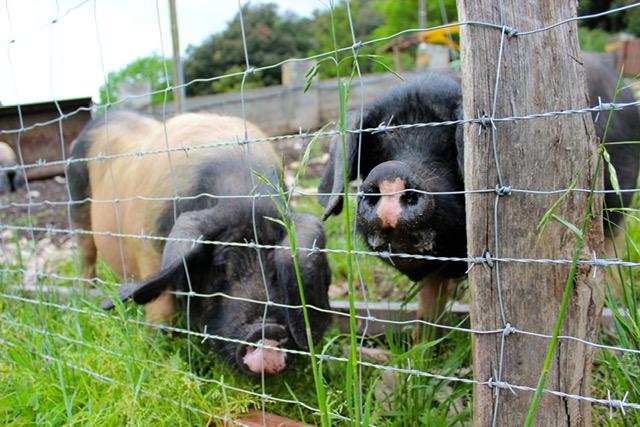 Ezkurtxerri Basque Porks